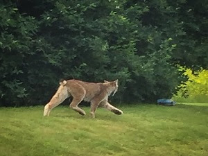Rare lynx spotted in southern vermont vermont business for Vermont fish and wildlife