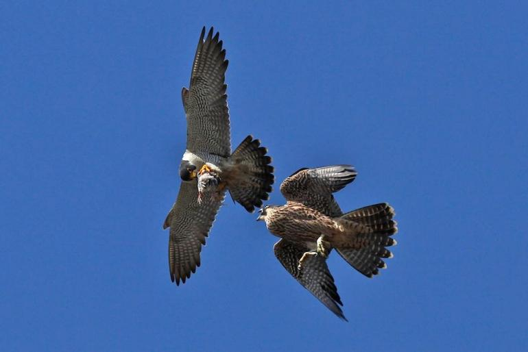 Audubon Vermont Peregrines Forest Health And Mbta Victory Vermont Business Magazine