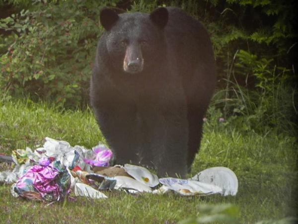 Bears love composting too adjusting to vermont s for Vermont fish and wildlife
